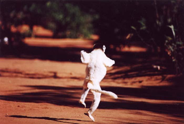 Jumping Lemur.jpg