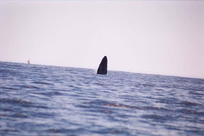 Whale Jumping.jpg