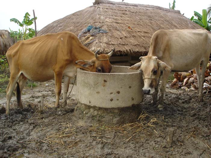 Cattle near Joygopalpur.jpg