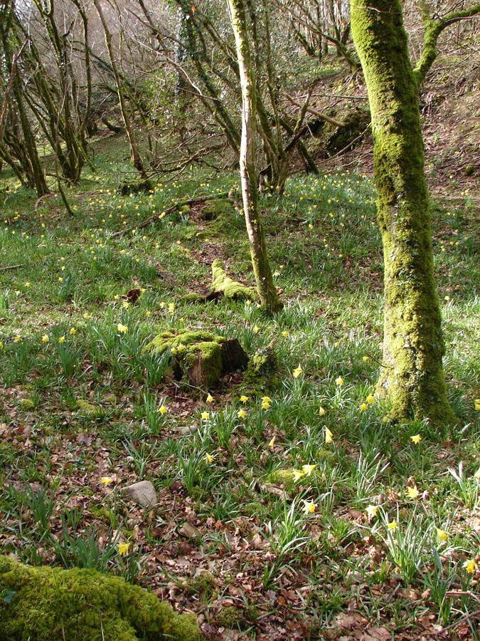 Daffodil Woods.jpg