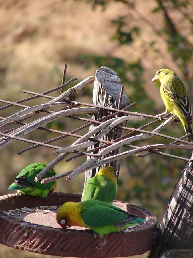 Fischers Lovebird hybrid.jpg