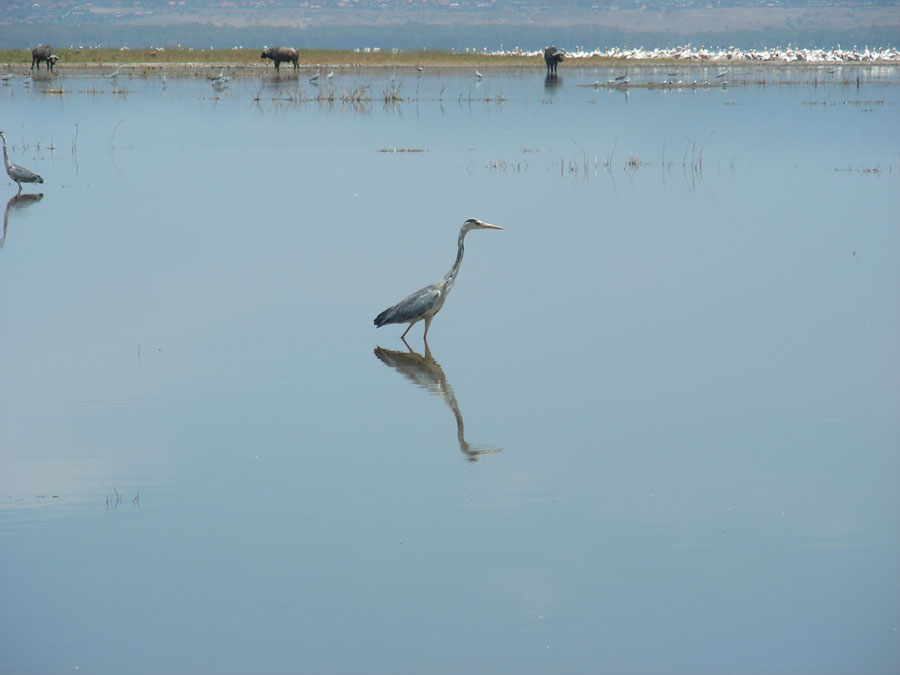 Heron at Nakuru.jpg
