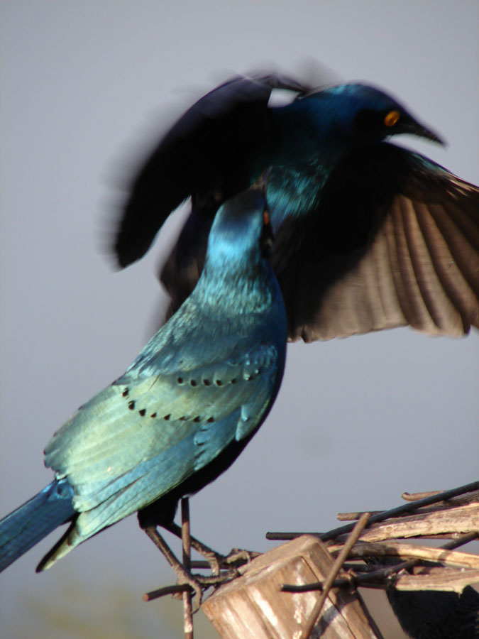 Greater Blue Eared Starlings.jpg