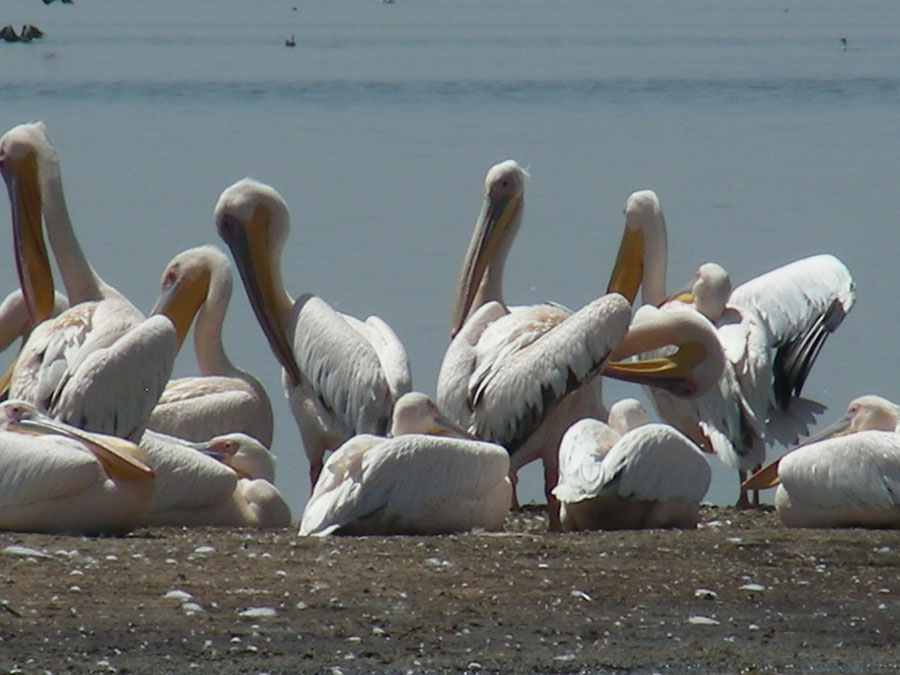 Pelican at Nakuru.jpg