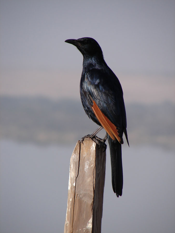 Red Winged Starling.jpg