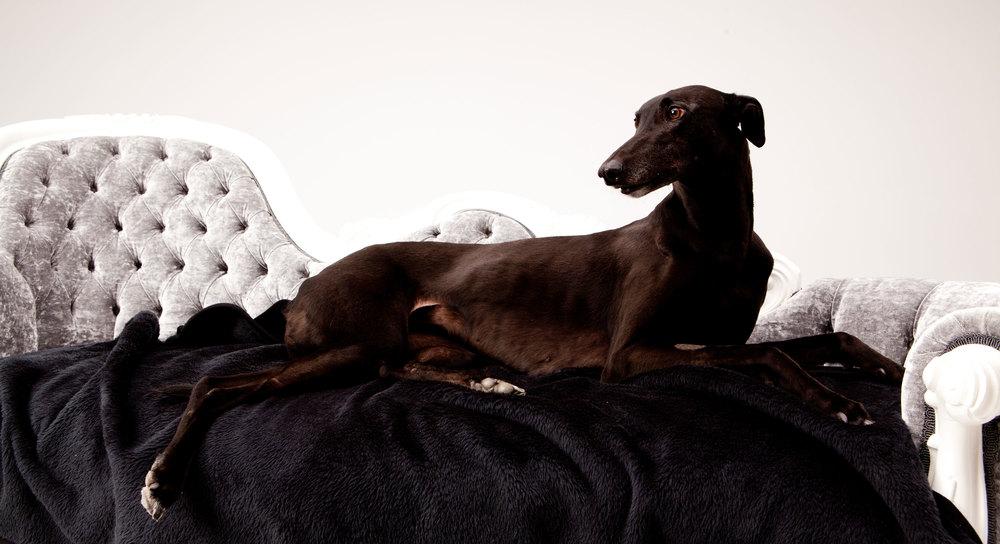 adopt-a-greyhound.jpg