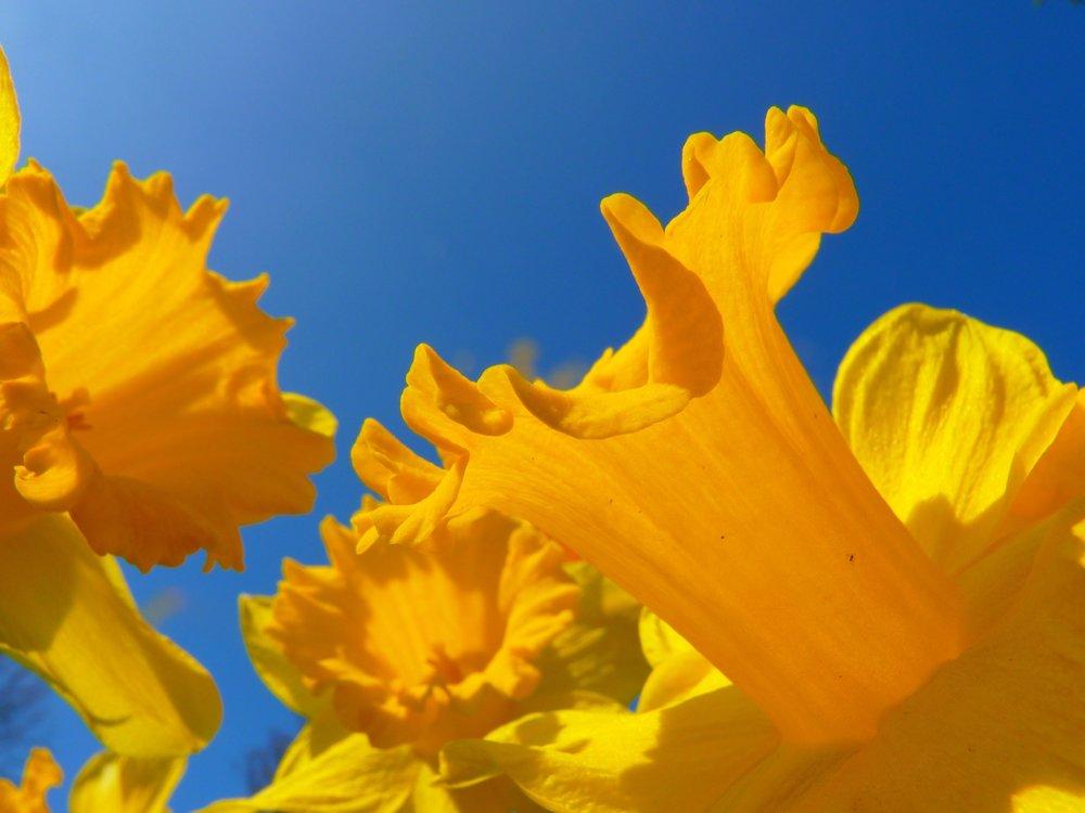 Daffodils 2r.jpg
