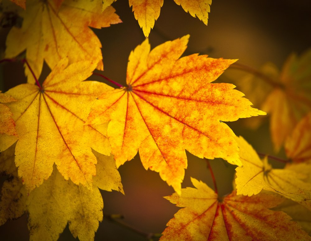 Japanese acer leaves shutterstock_151149539.jpg