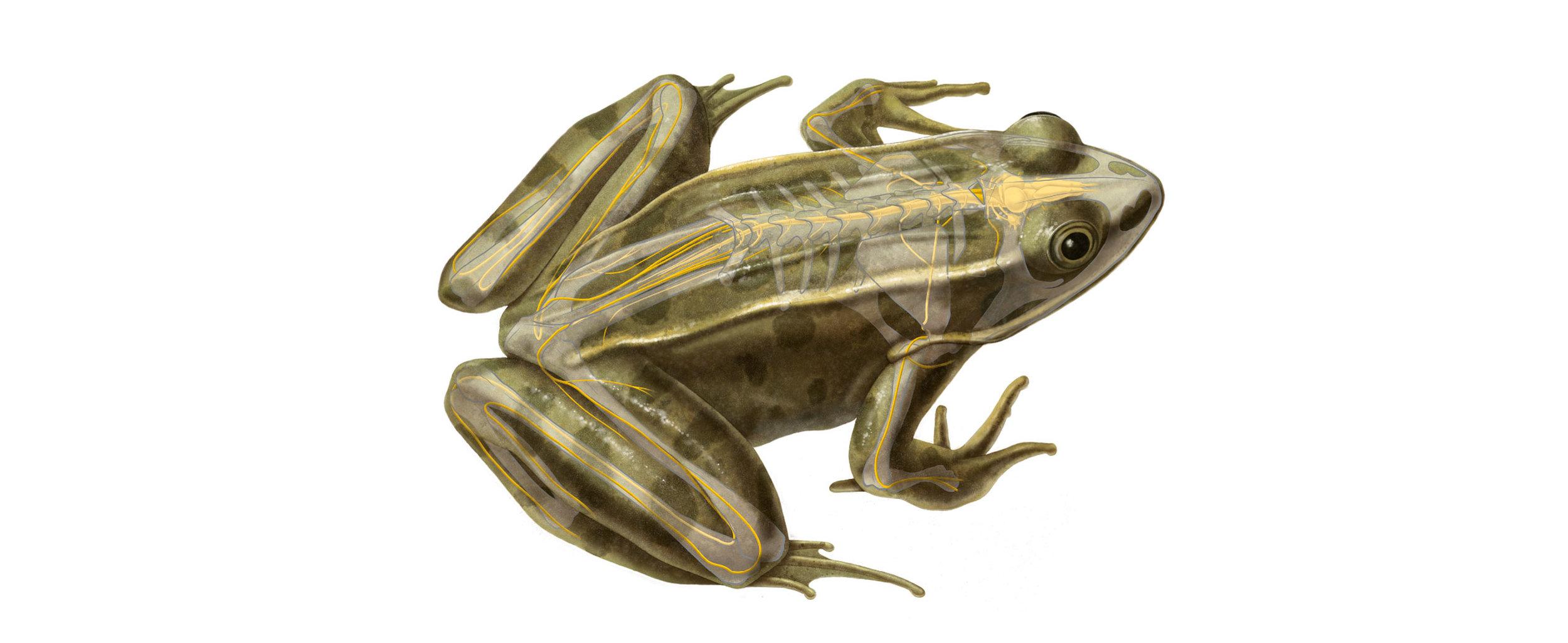 Wissenschaftliche Illustration des Nervensystems eines Frosches ...