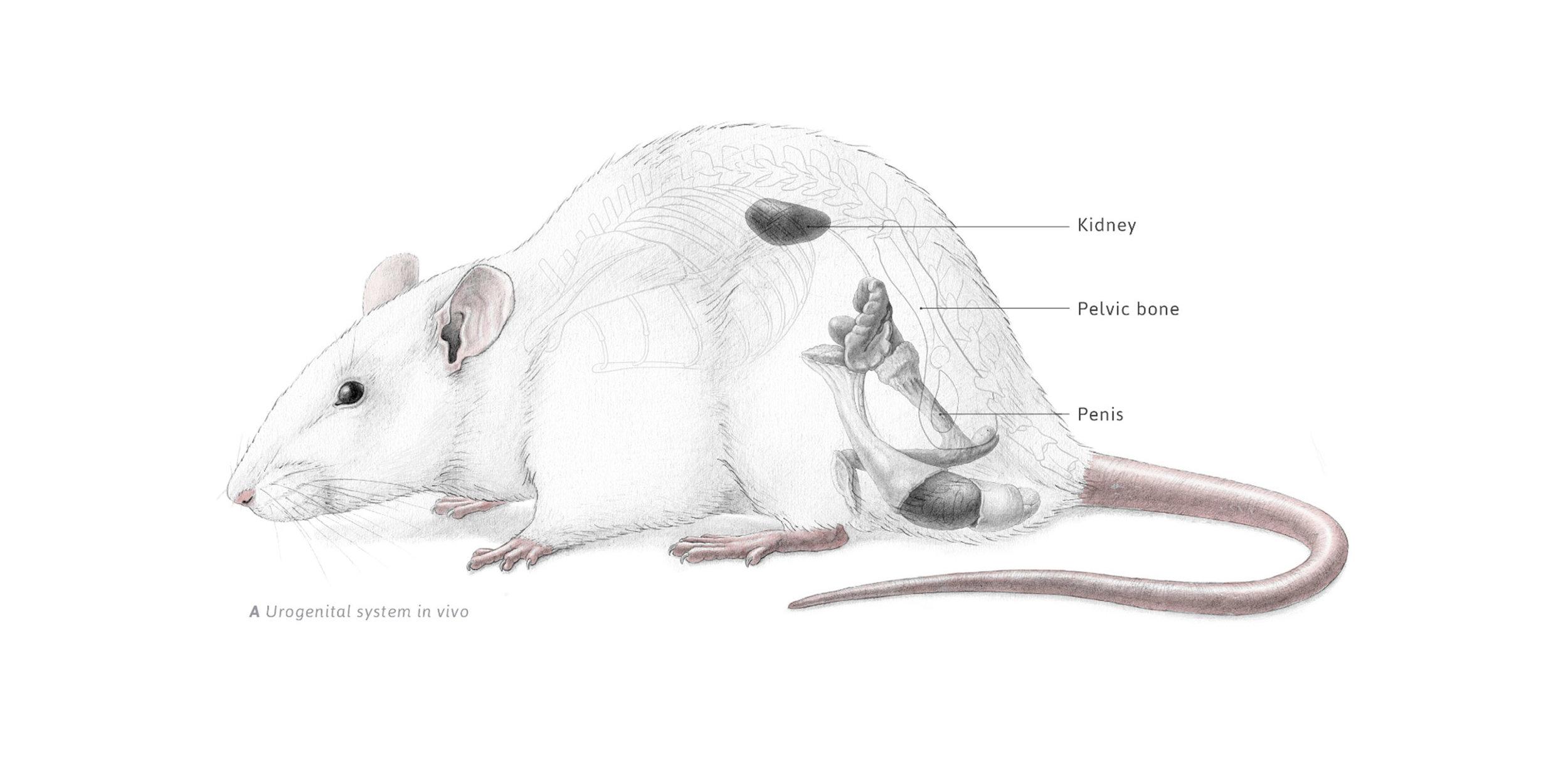 Wissenschaftliche Darstellungen des Urogenitalsystems einer Ratte ...