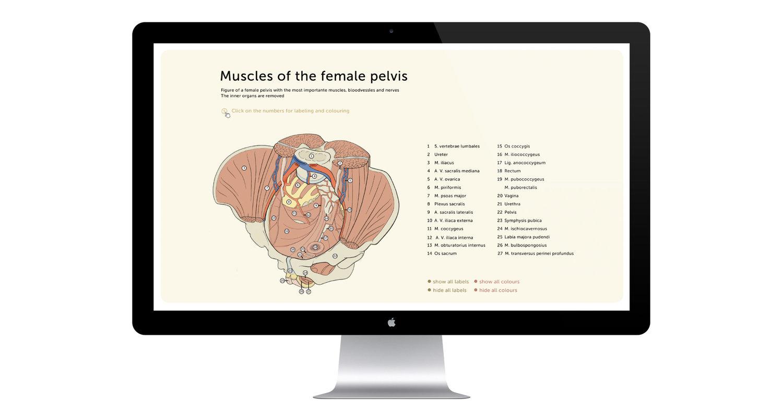 Medizinisch-didaktische Illustration der Muskeln des Beckens ...