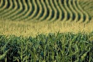corn+1.jpg