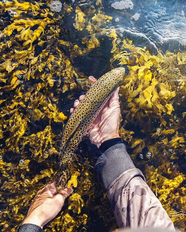 The fishing has been slow and it's been har to find feeding seatrout latley. But today we found some fish! Hard wind and a lot of movement in the water. Me and @troutcastz got 15 seatrout and had a lot of contacts!  #Lucasflyfishing #seatrout #searun #searunbrowntrout #trout #troutfishing #havsöring #öring #meriforell #havørred #sjøørred #meerforelle #flyfishing #fishing #saltwaterflyfishing #coastalfyfishing