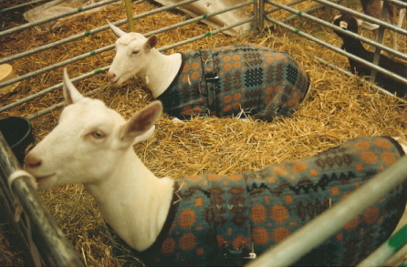goats in welsh doubleweave coats