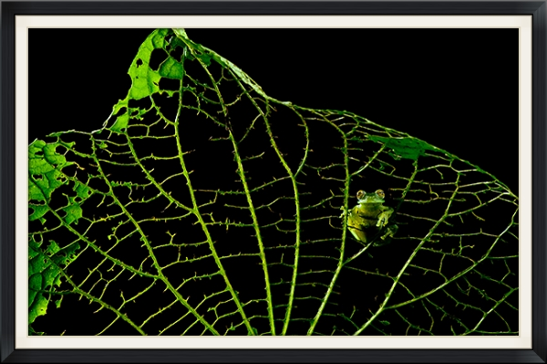 Glass Frog on Skeletonized Leaf  Winner, Art in Nature Category  Nature's Best Windland Rice Smith Competition 2013