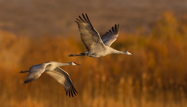 20111116-_V5C0934-Sandhill-Cranes-free-crop