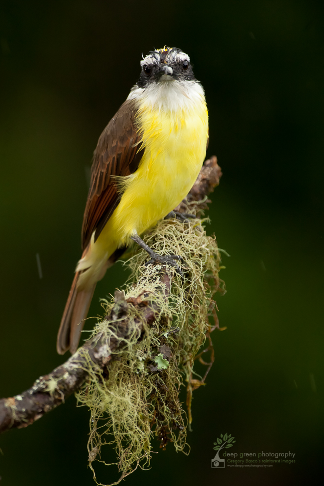 Great kiskadee on cloud forest branch. Great kiskadees are resident birds that travel with a mixed flock that includes other resident flycatcher species, tanagers, saltators, woodpeckers, and migrant tanager and oriole species.