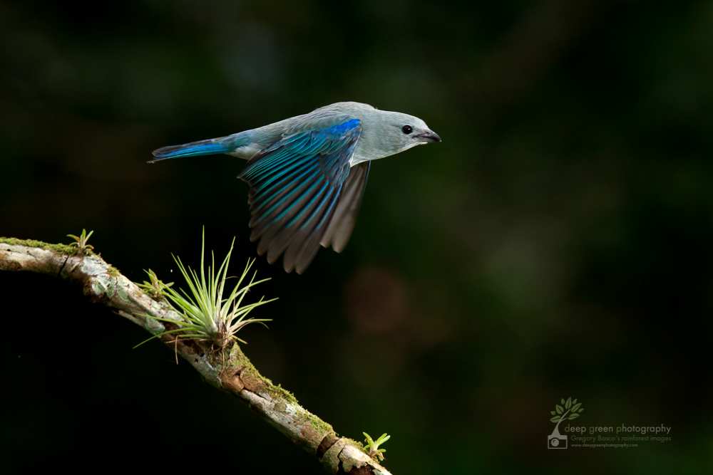 Blue-gray tanager taking off from a cloud forest branch. Blue-gray tanagers are resident birds that travel with a mixed flock that includes other resident tanager species, flycatchers, saltators, woodpeckers, and migrant tanager and oriole species.