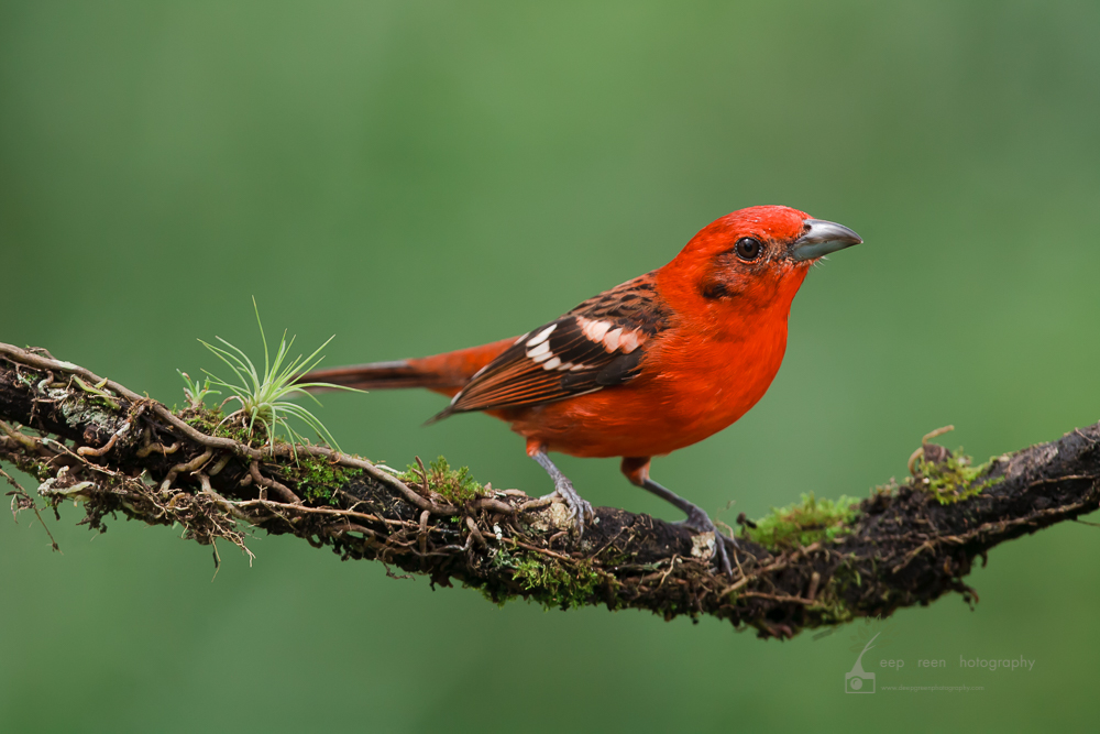 Flame-colored tanager on cloud forest branch. Flame-colored tanagers are resident birds that travel with a mixed flock that includes other resident tanager species, flycatchers, saltators, woodpeckers, and migrant tanager and oriole species.