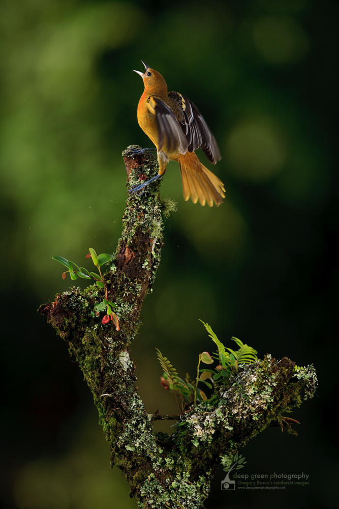 a female Baltimore oriole calls from a cloud forest branch