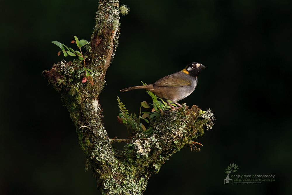 DGP Costa Rica birds-1186.jpg