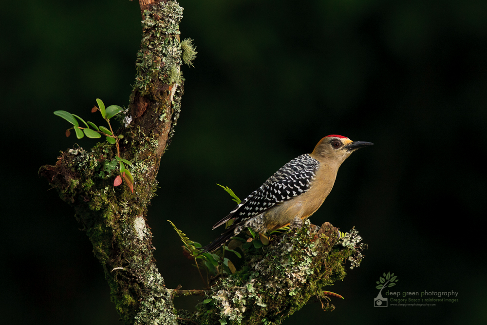 DGP Costa Rica birds-1215.jpg