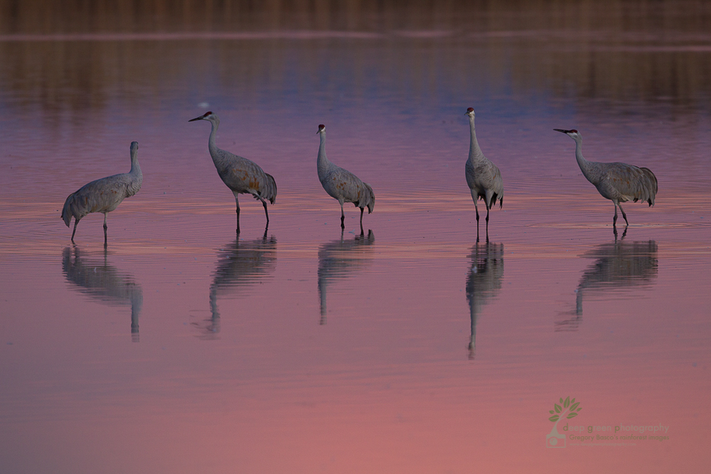 sandhill cranes at sunset Bosque del Apache