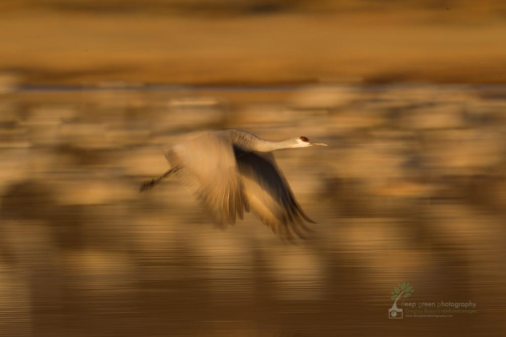 sandhill crane blur Bosque del Apache