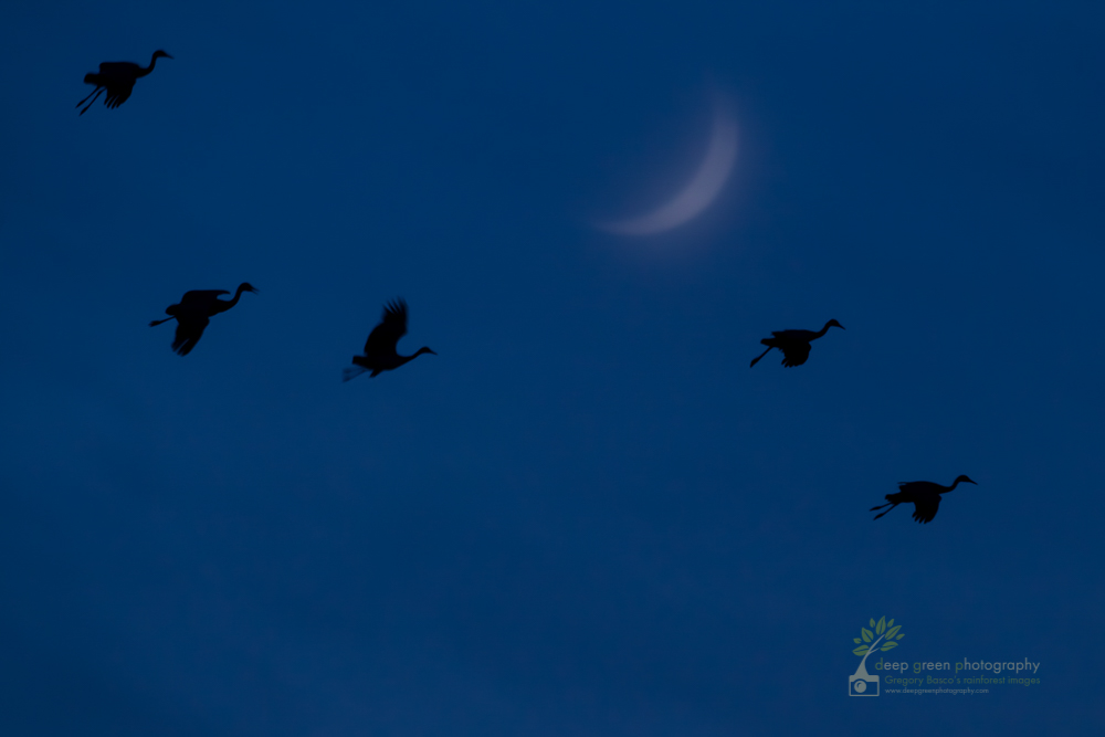 Sandhill cranes fly past a crescent moon