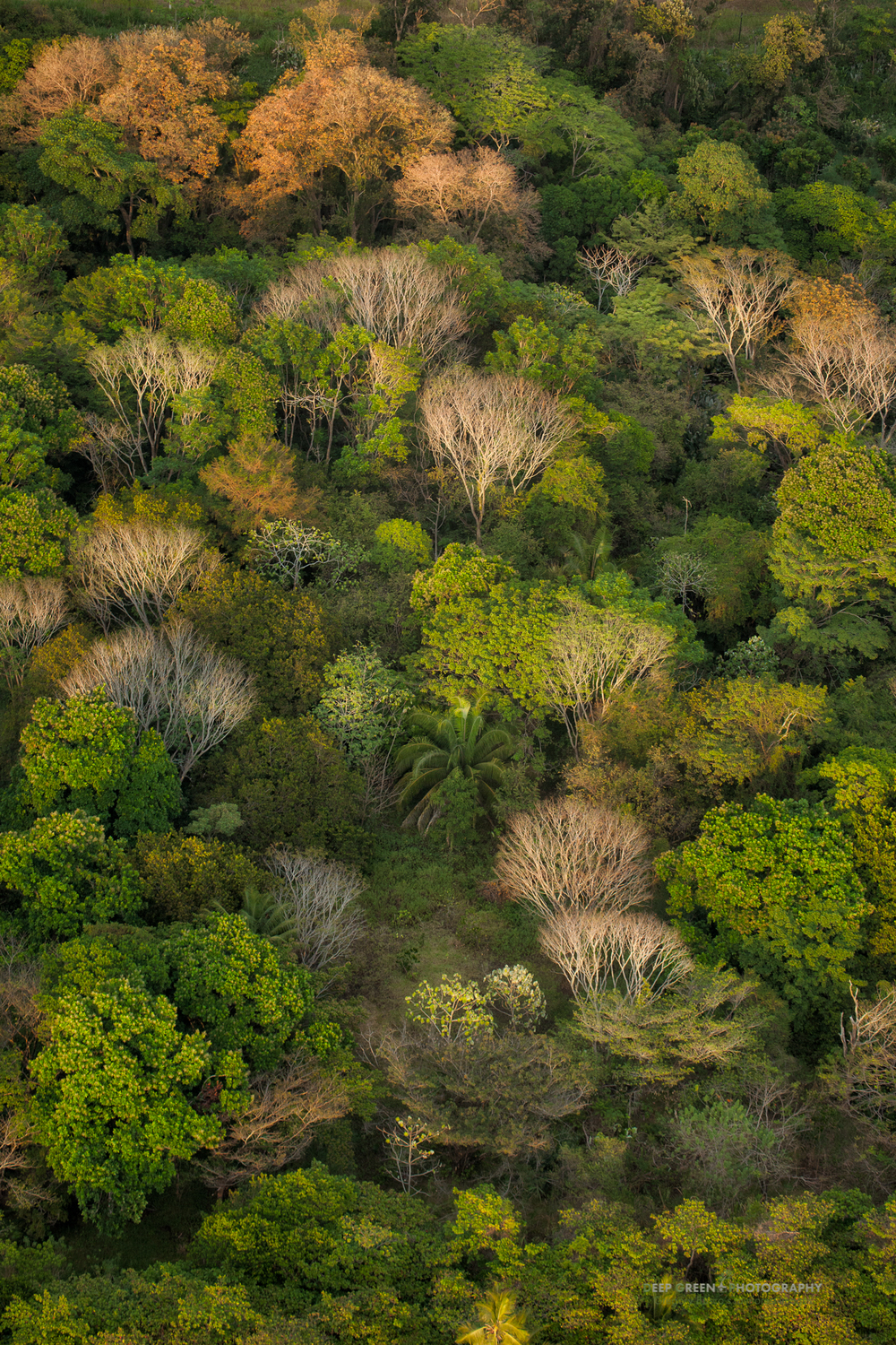 The rainforests of Costa Rica's Central Pacific Coast have a number of decidous trees that shed their leaves in the dry season