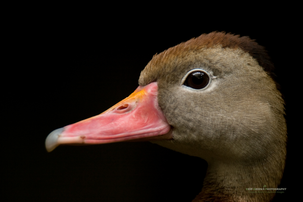 black-bellied whistling duck portrait