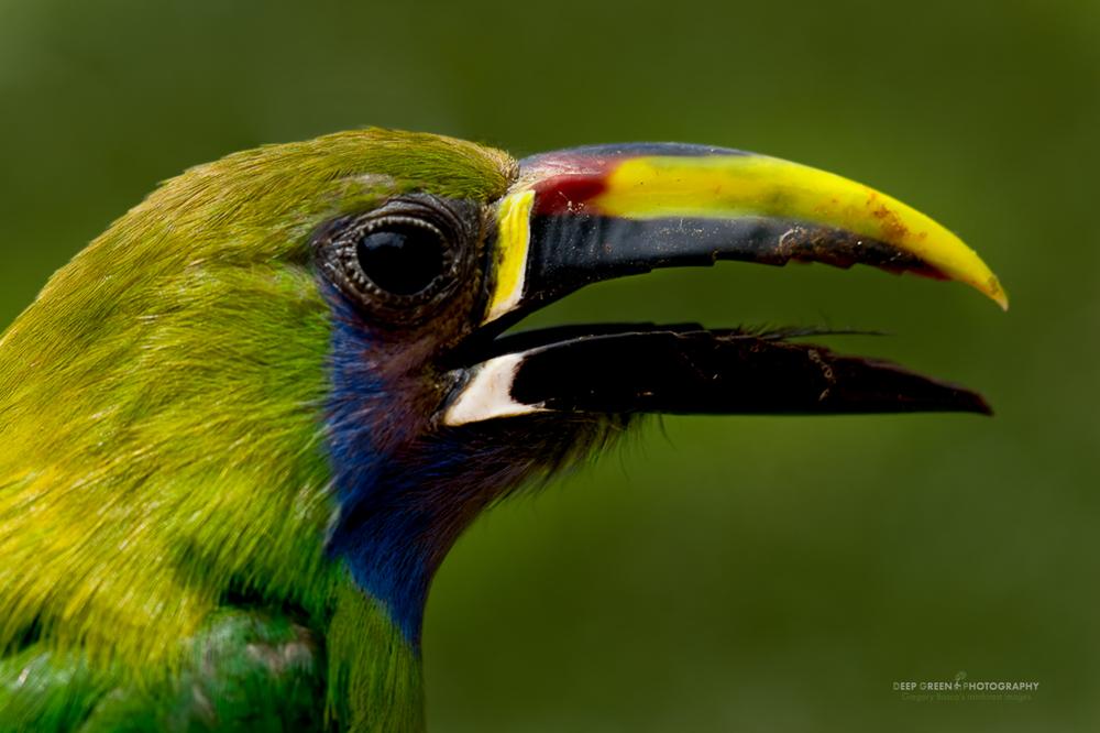 emerald toucanet closeup portrait