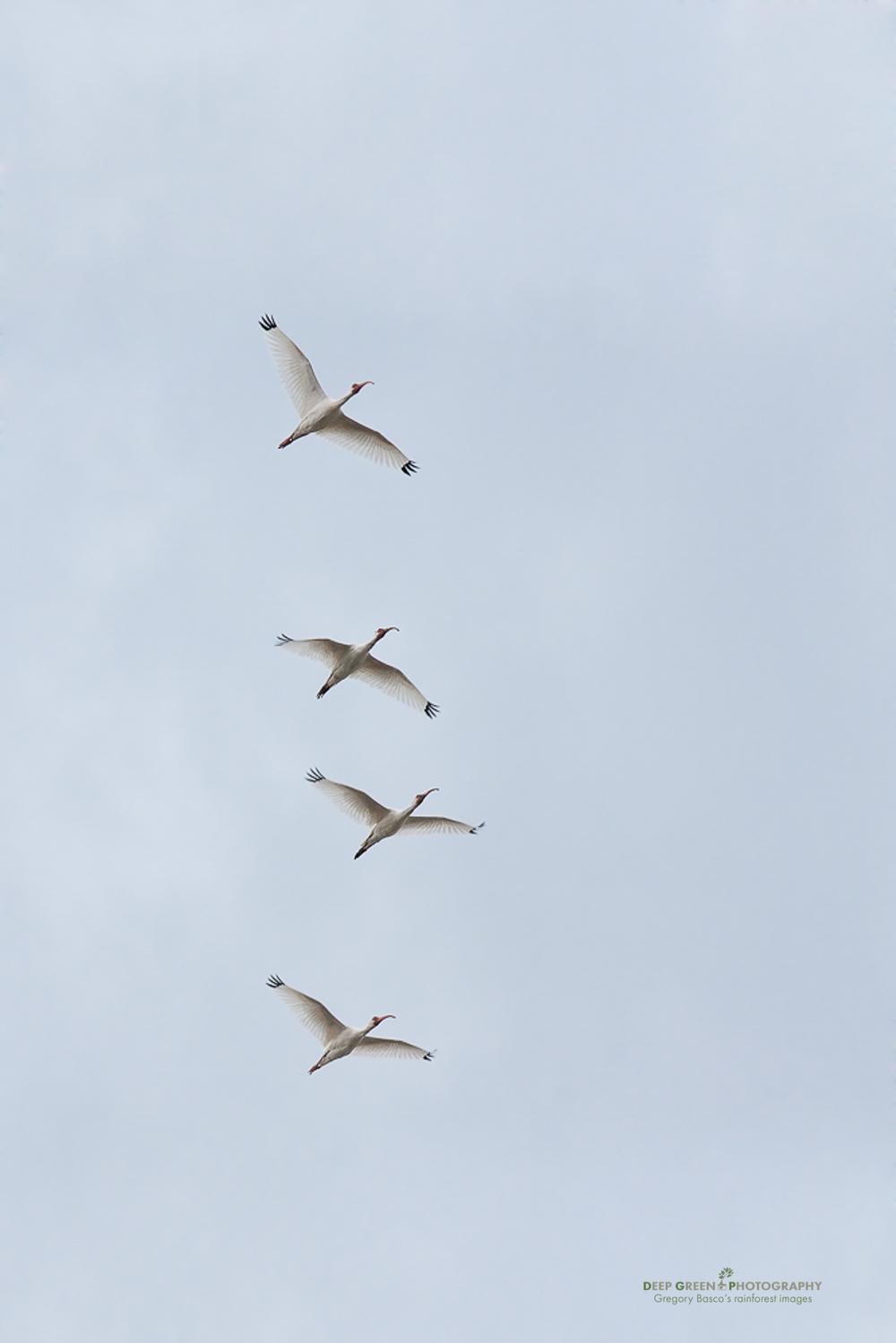 white ibis flying