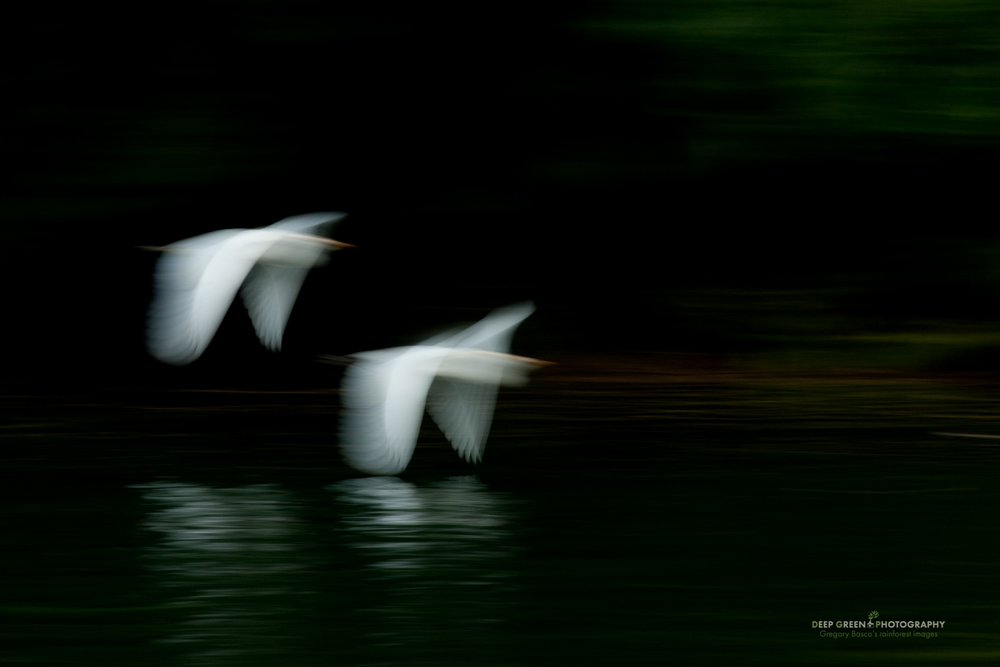 cattle egrets in flight on the Baru River