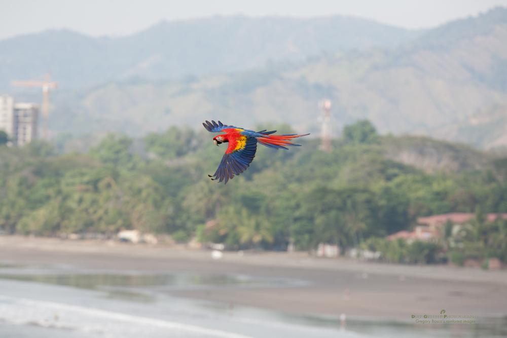scarlet macaw flying against a backdrop of rampant development at Jaco Beach