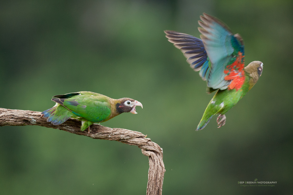 brown-hooded parrots