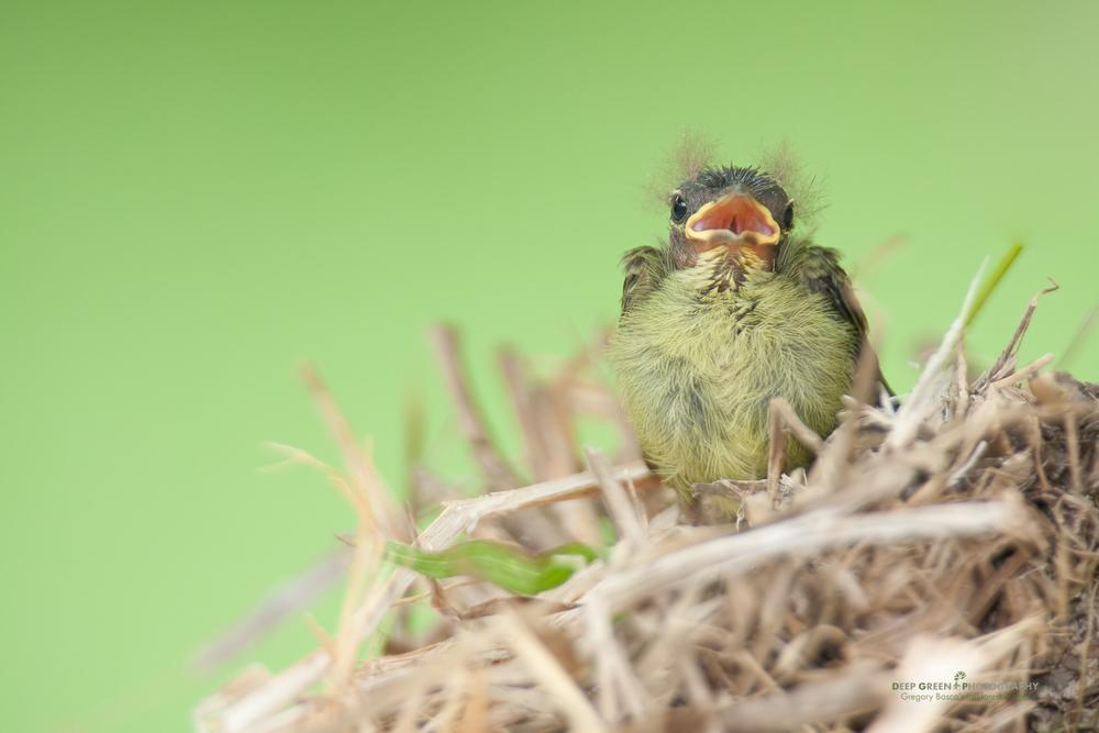 tody flycatcher chick
