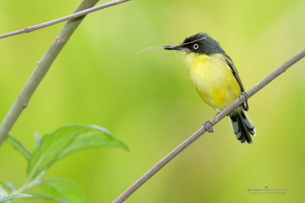 tody flycatcher with nesting material