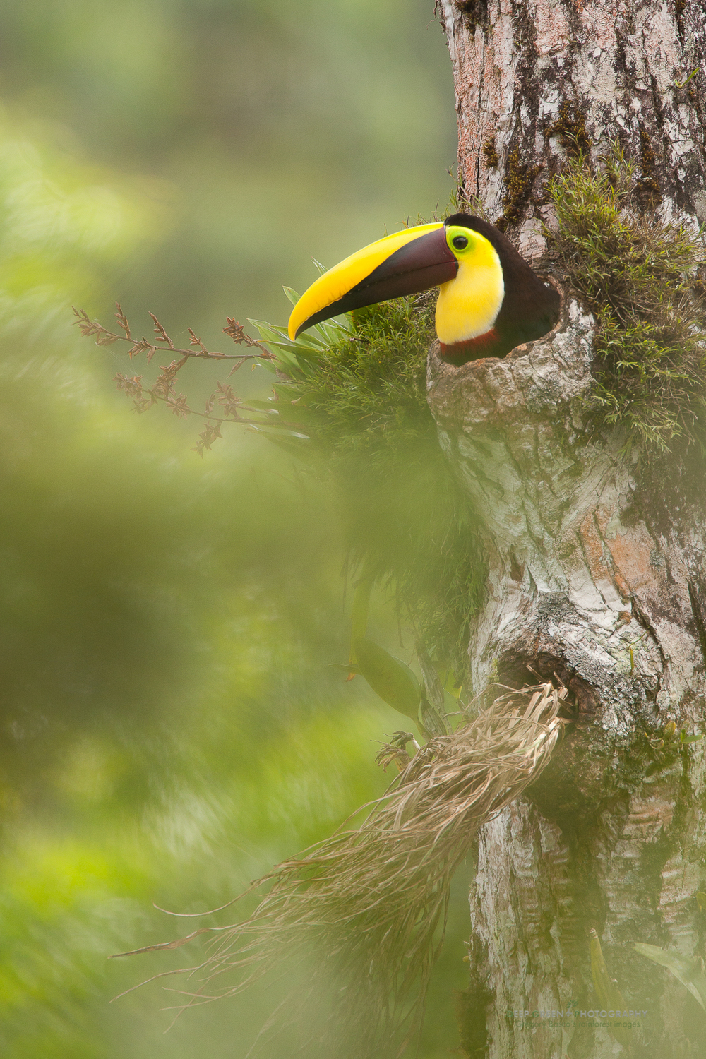 chestnut-mandible toucan on nest in hole of rainforest tree