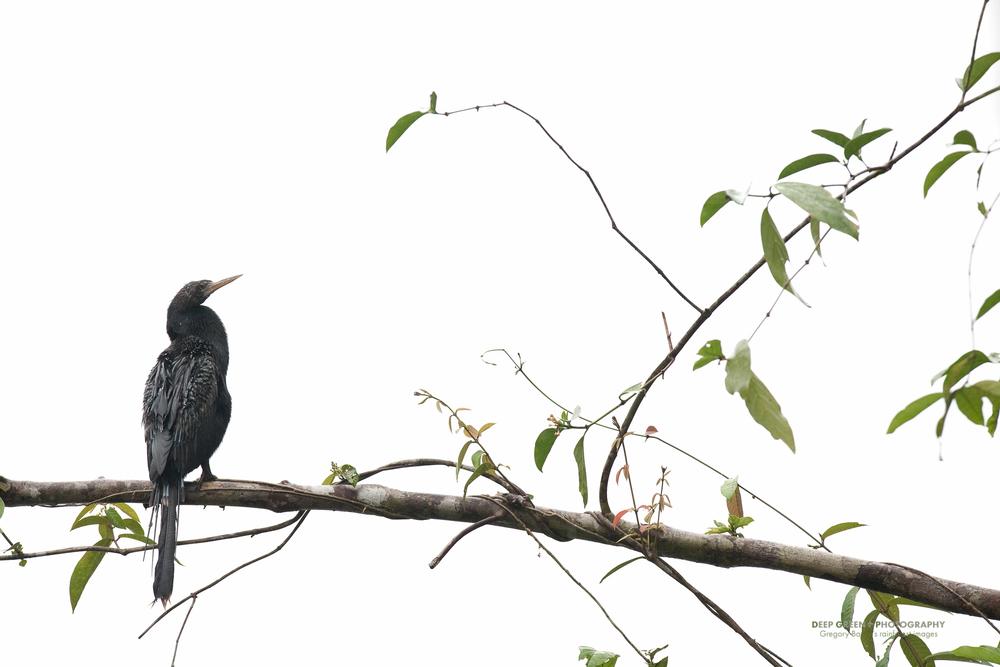 anhinga in Tortuguero National Park