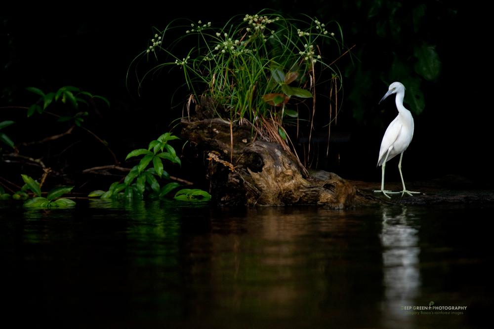 snowy egret in Tortuguero National Park