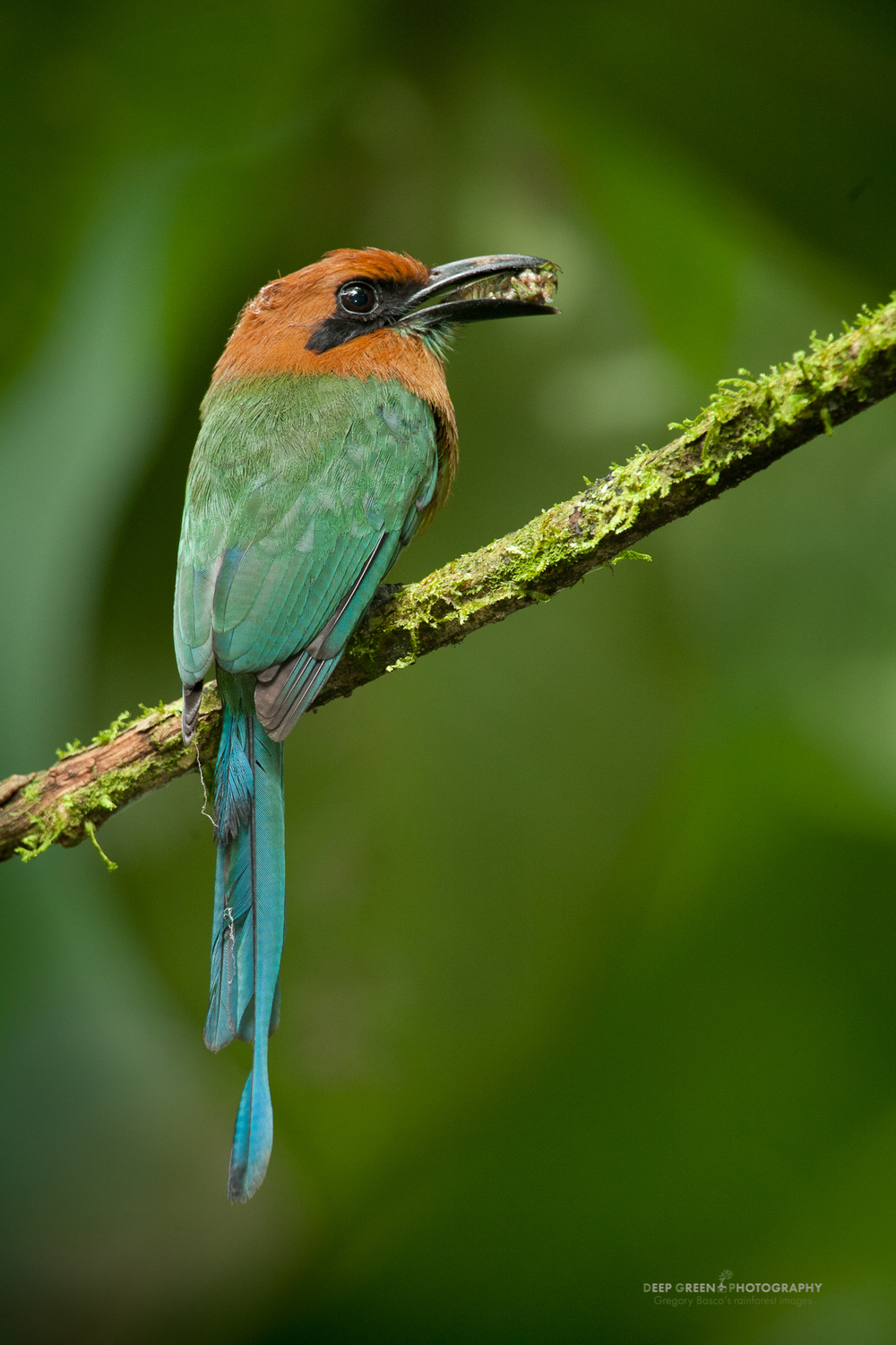 broad-billed motmot with cicada