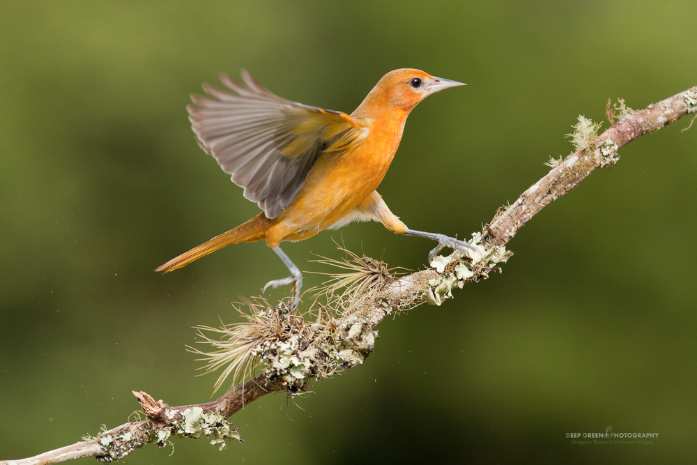 Female Baltimore Oriole on cloud forest branch