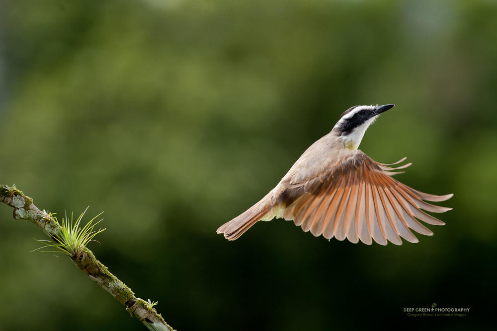 Great kiskadee taking off from a cloud forest branch. Great kiskadees are resident birds that travel with a mixed flock that includes other resident flycatcher species, tanagers, saltators, woodpeckers, and migrant tanager and oriole species.