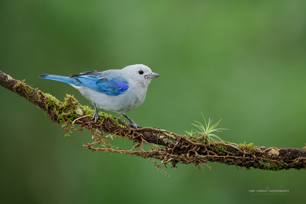 Blue-gray tanager on cloud forest branch. Blue-gray tanagers are resident birds that travel with a mixed flock that includes other resident tanager species, flycatchers, saltators, woodpeckers, and migrant tanager and oriole species.