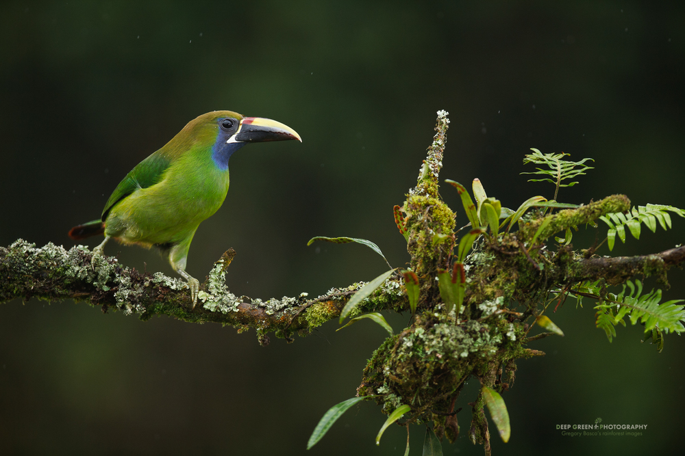 Emerald (aka blue-throated) toucanet on a cloud forest branch