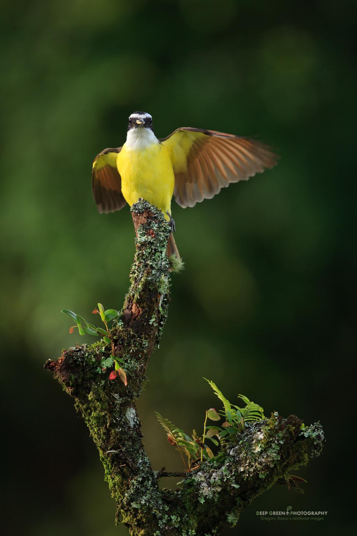 Great Kiskadee on a cloud forest branch