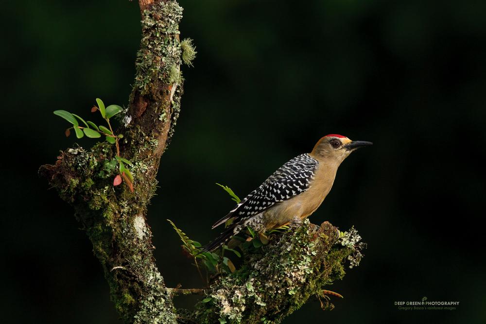 Hoffman's woodpecker