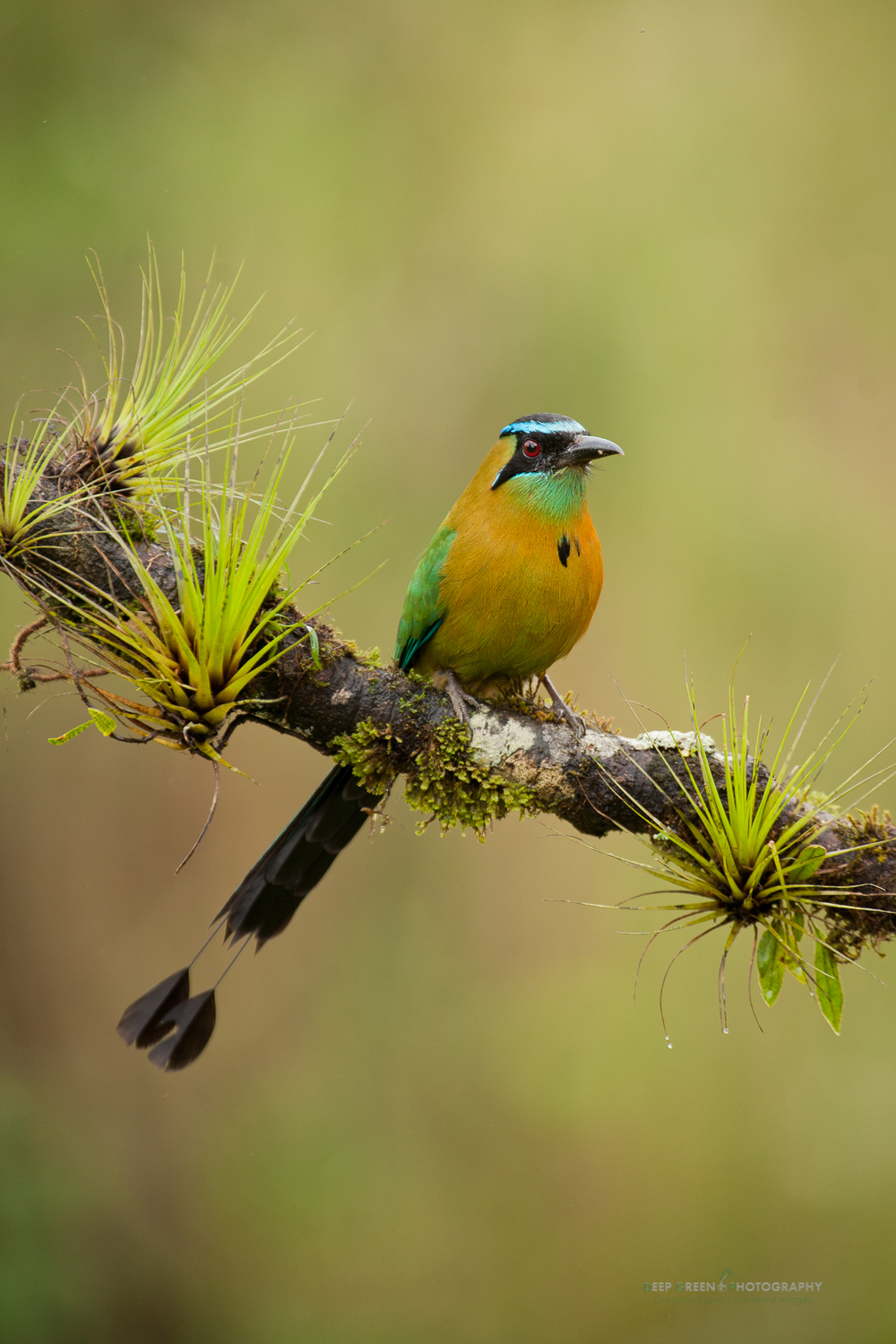 blue-crowned motmot on cloud forest branch with bromeliads