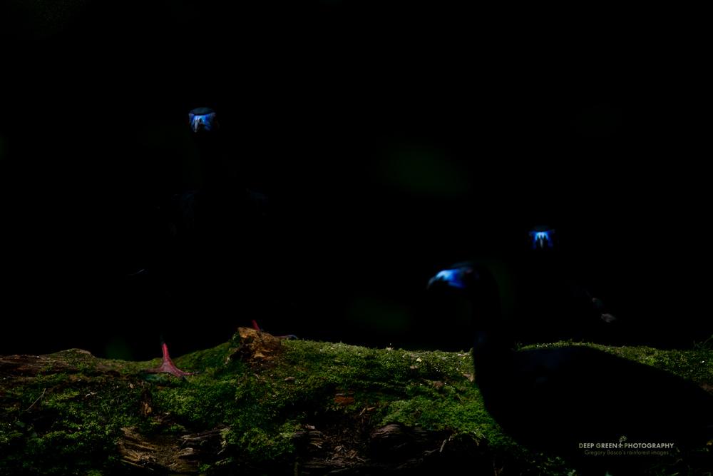Black guans congregate in a dark cloud forest